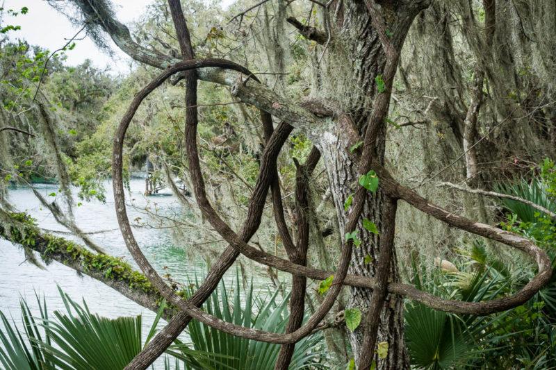 Trees, river, vines